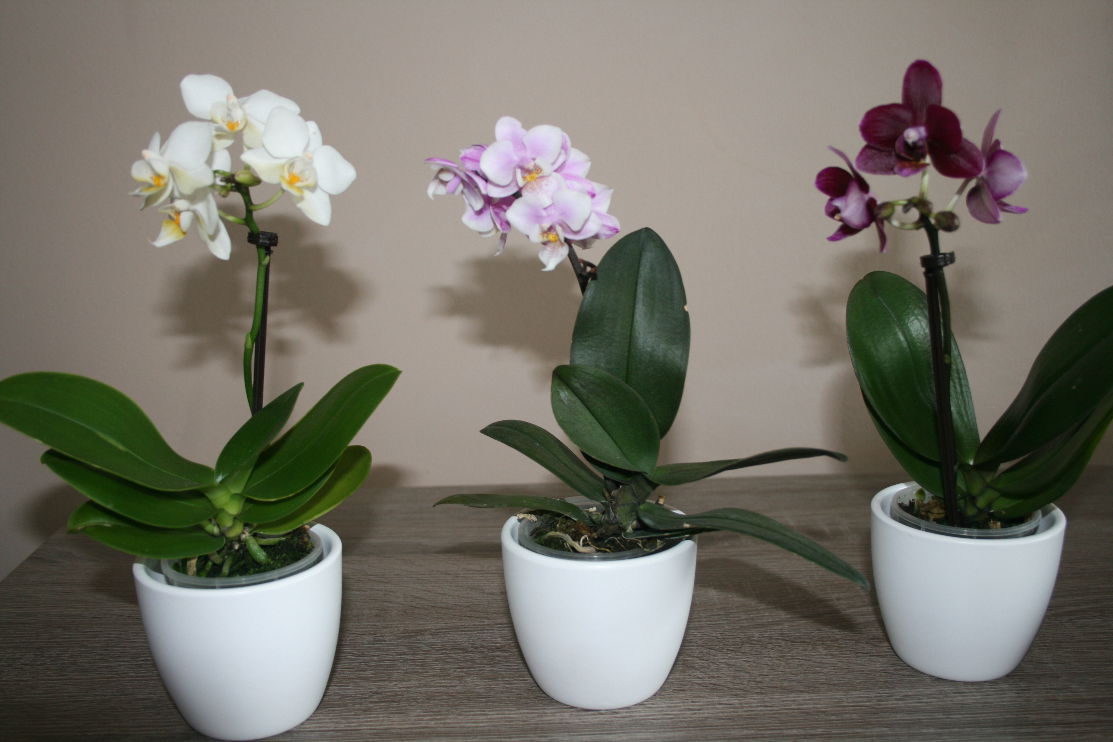 Kupujemy Storczyka Miscatalina Pl Blog