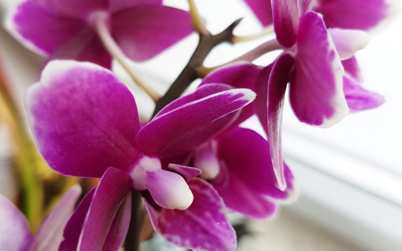 storczyk, orchidea, Phalenopsis