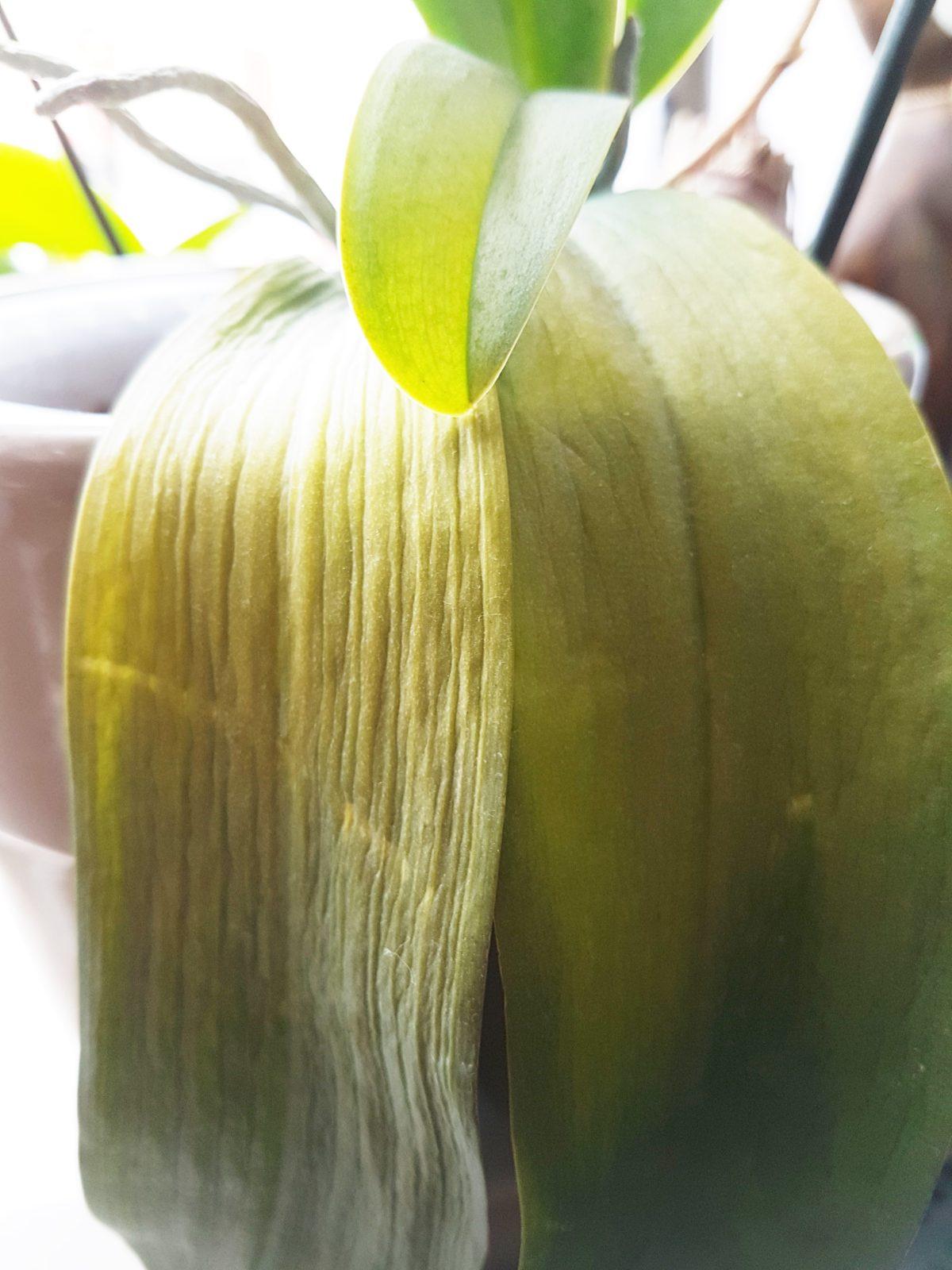 żółte liście storczyka