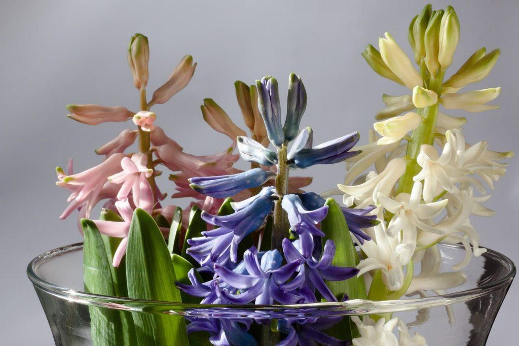 hyacinth-628575_1280