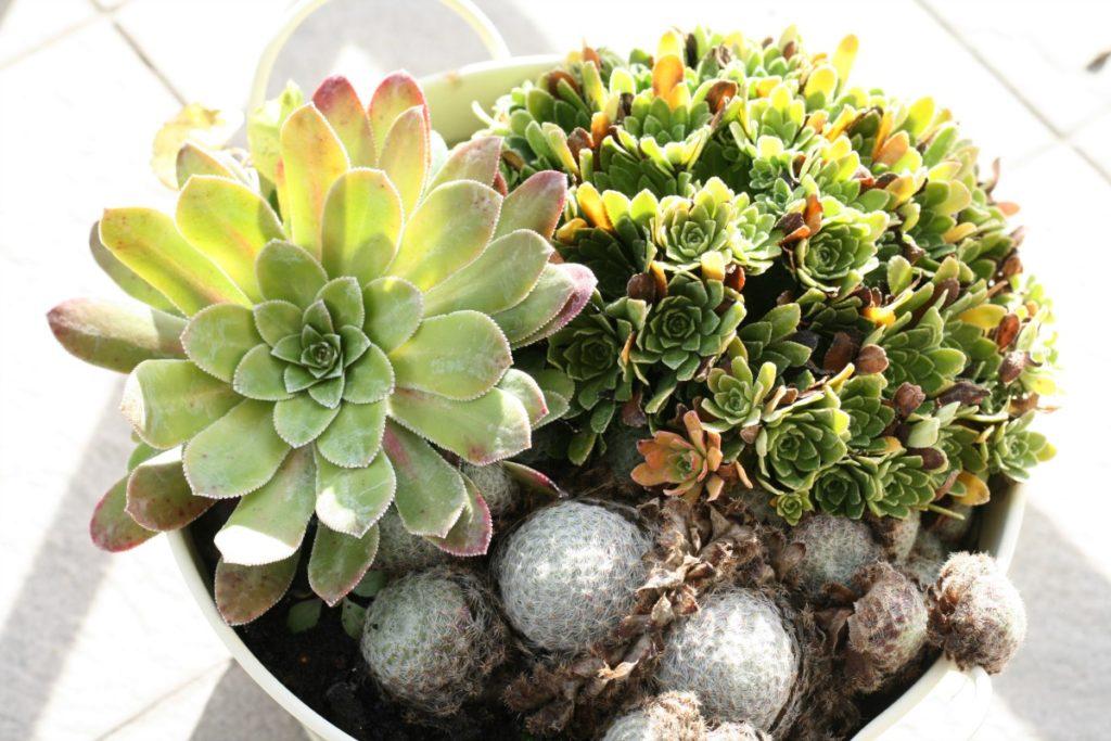 jak zabezpieczyć rośliny balkonowe przed zimą